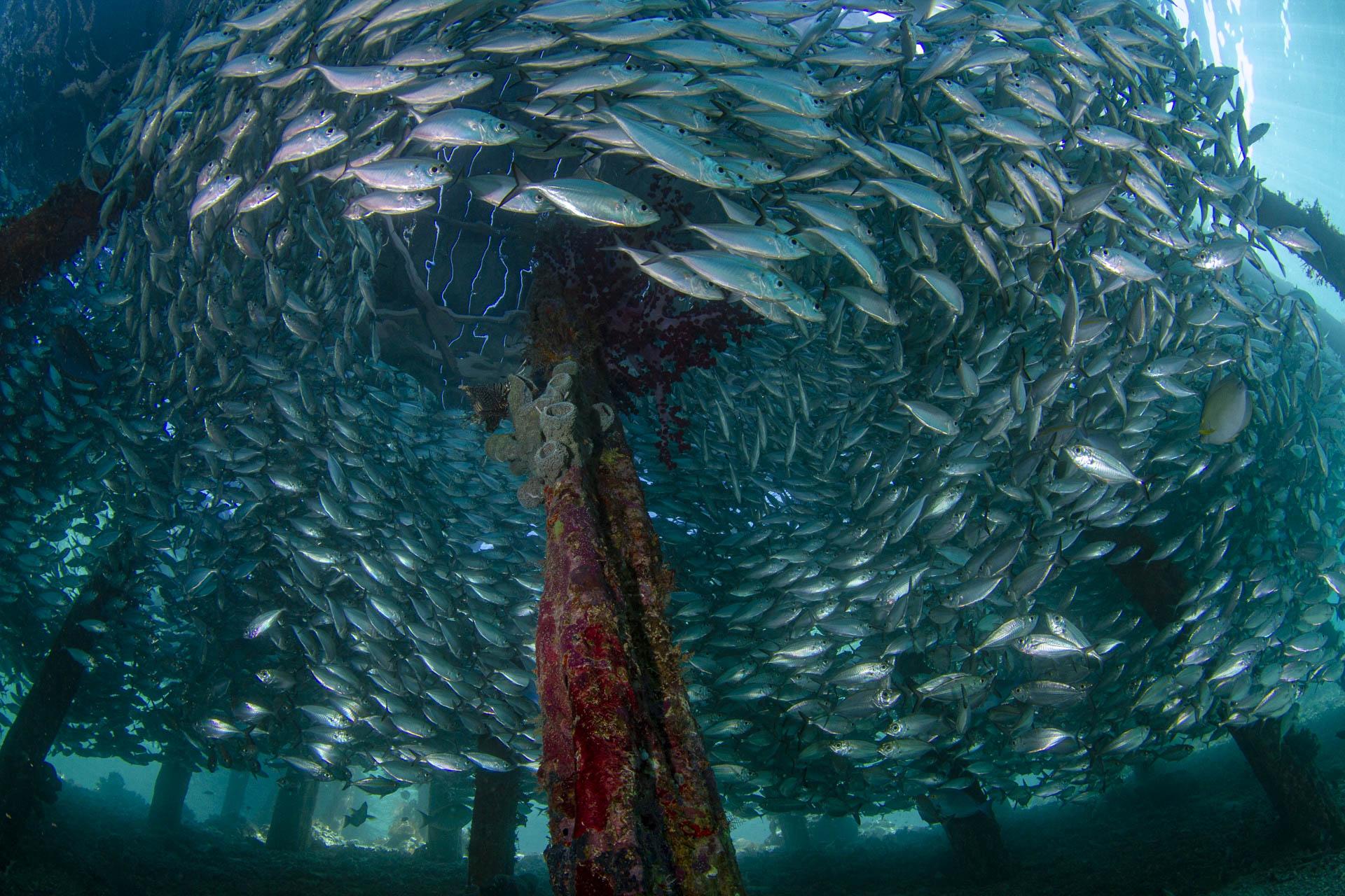 School of fish swirling around pier pilings