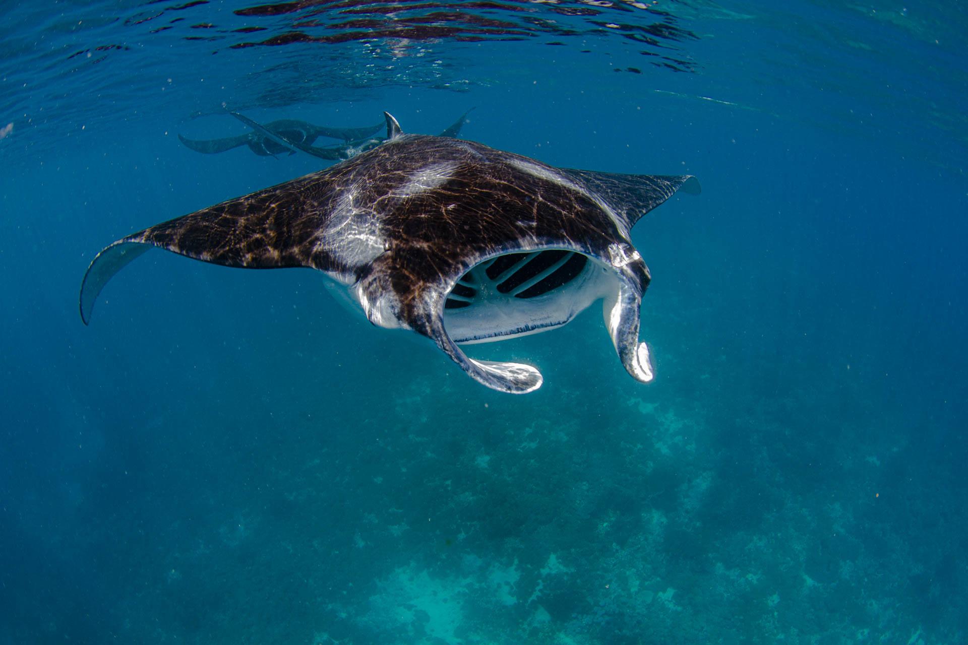 manta rays feeding on the surface