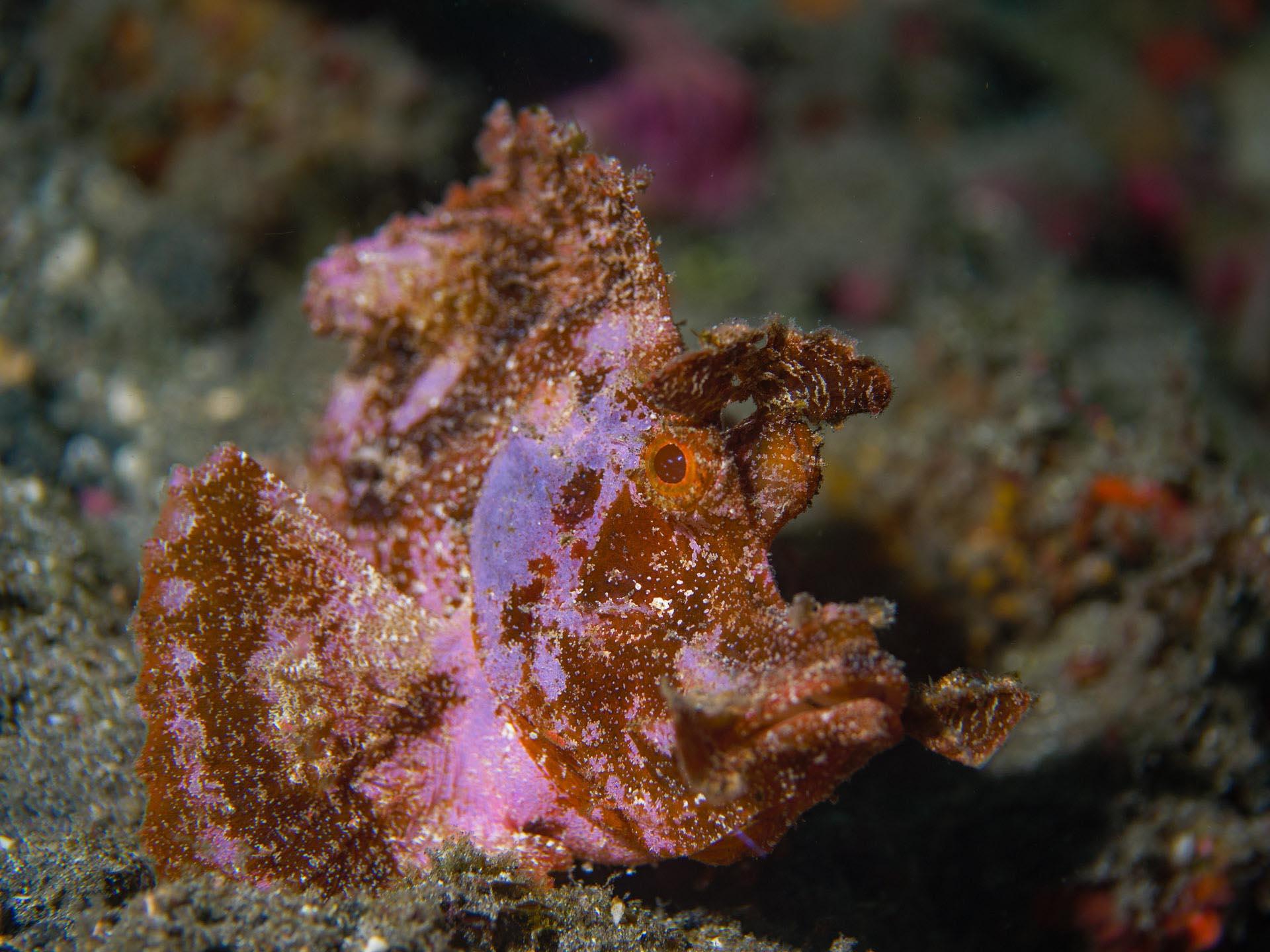 pink rhynopias