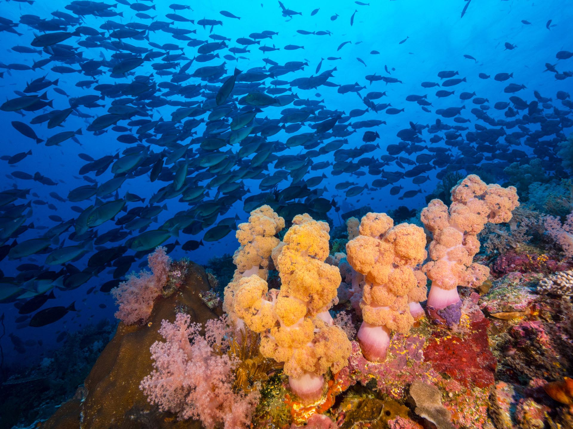 large school of reef above colorful soft coral