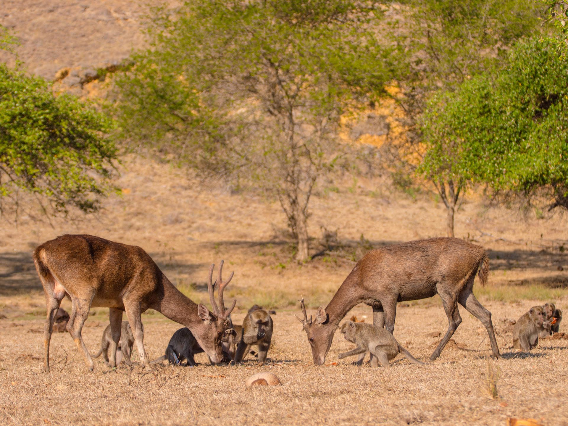 deer and monkeys in komodo