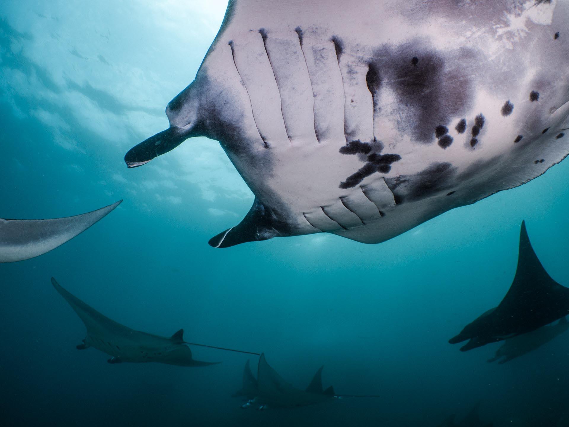many manta rays