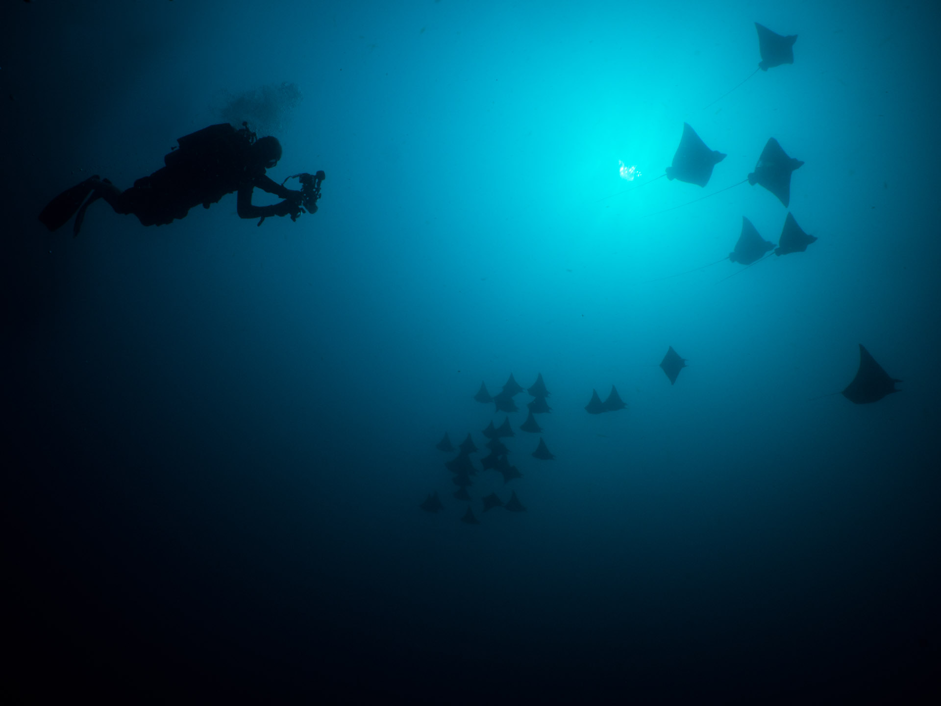 diver with a school of eagle rays