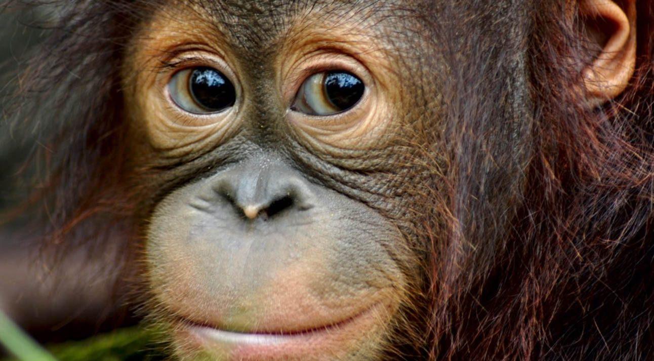 Baby Orangutang with big eyes