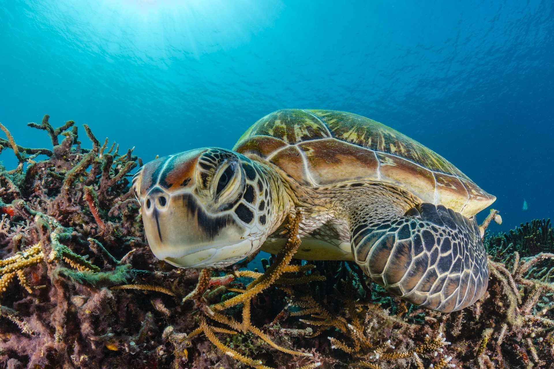 Green sea turtle sleeping on reef