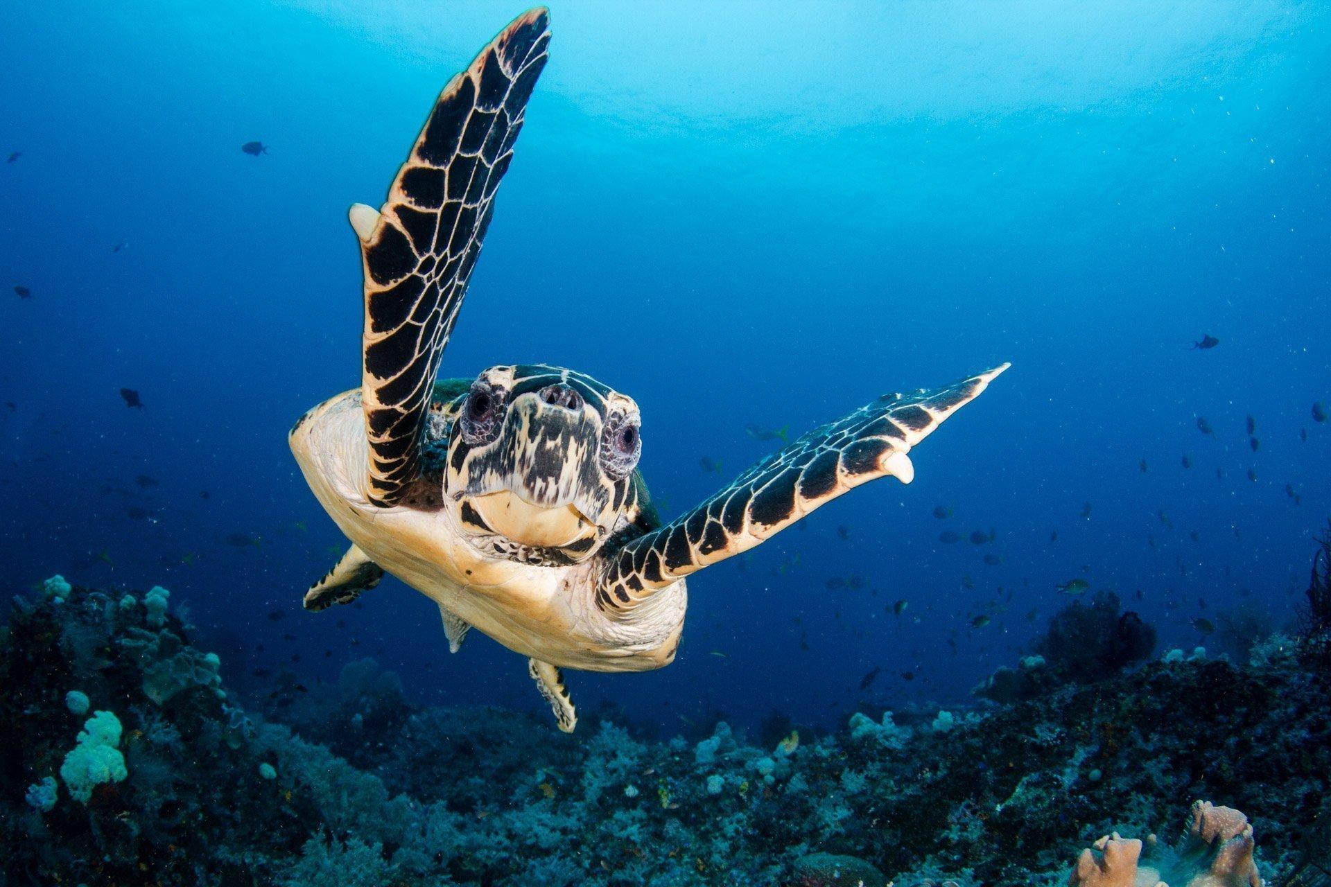 hawksbill turtle looking into camera lens