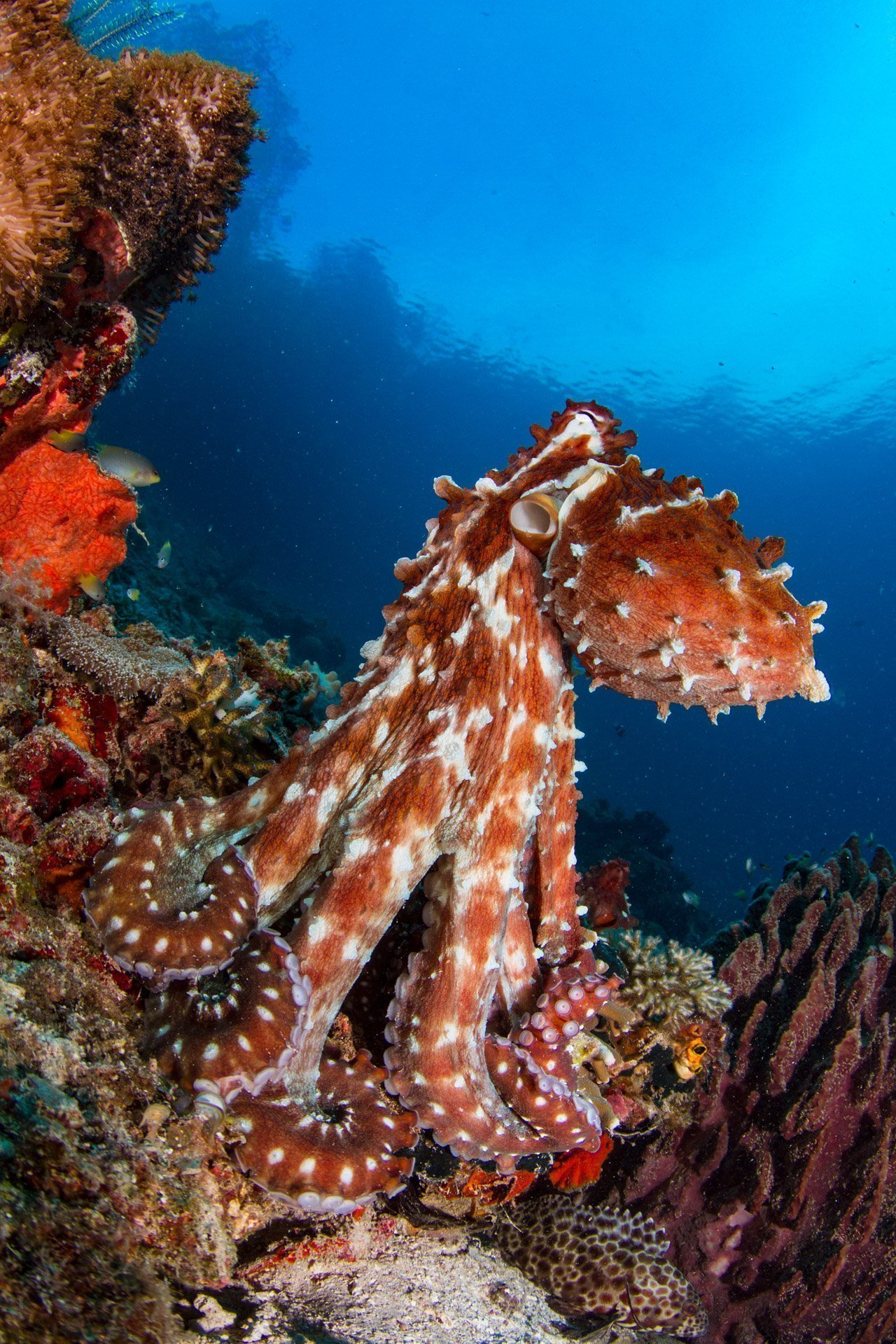 octopus standing up
