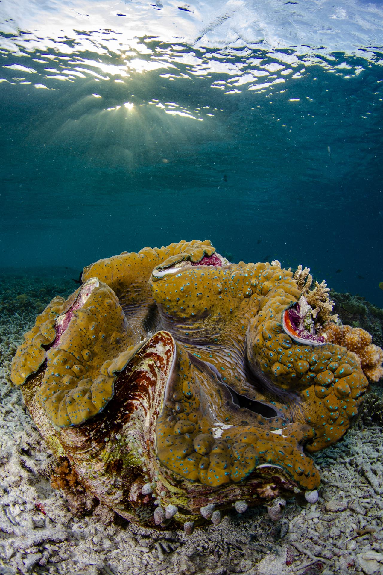 giant clam with sunset behind