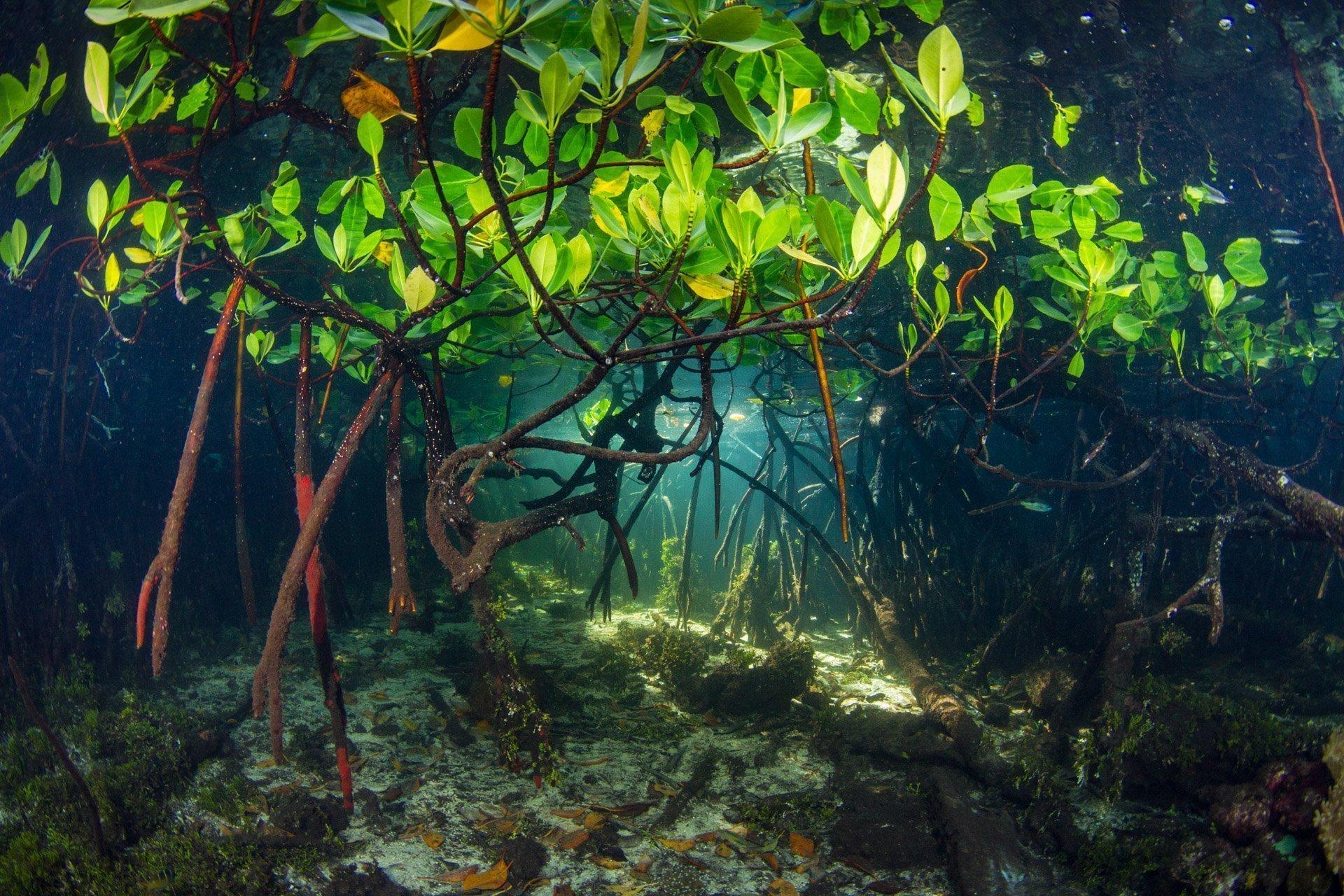 Mangroves viewed from underwater