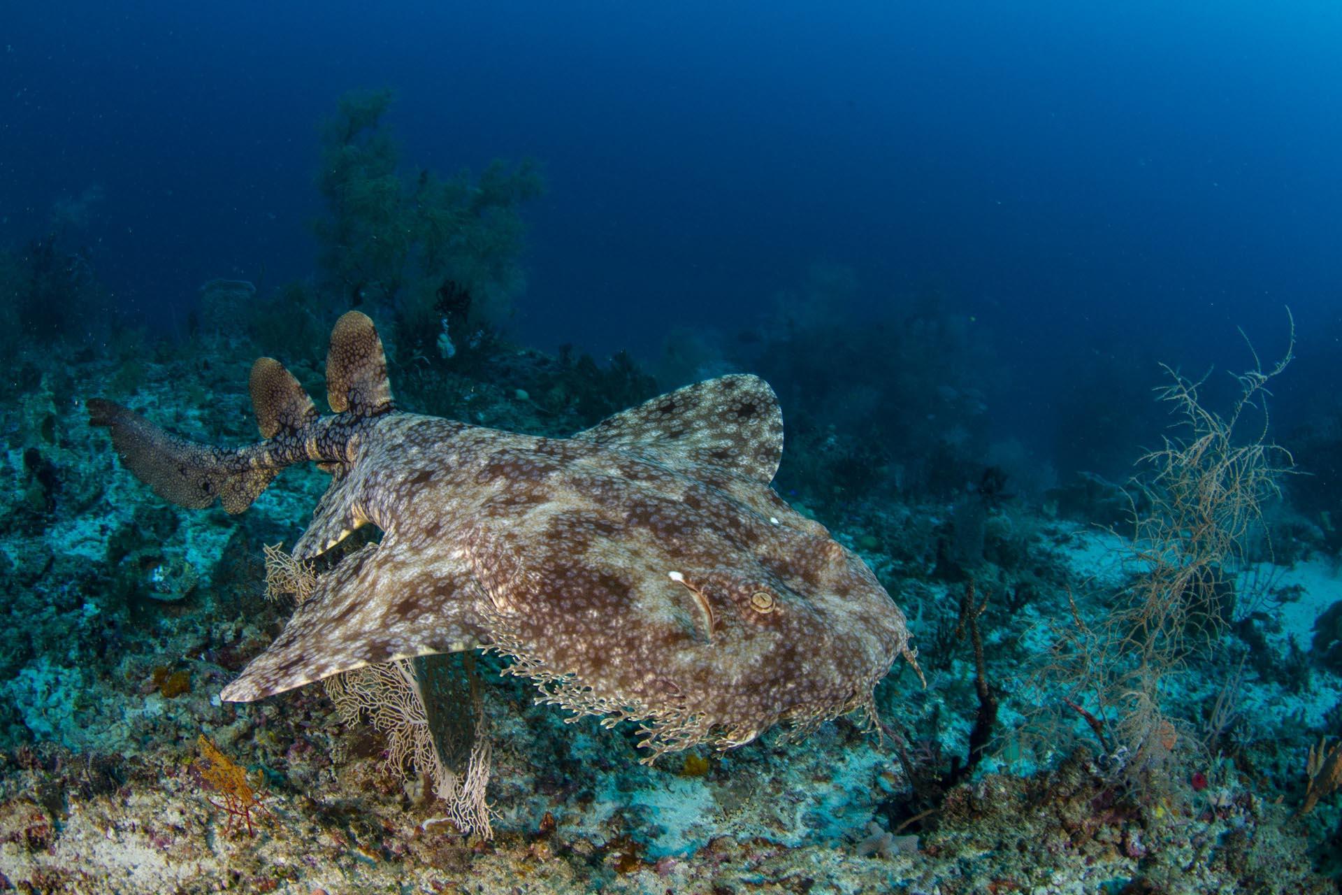 wobbegong shark swimming