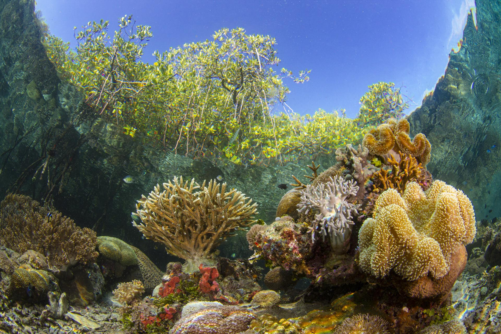 mangrove canopy visible above coral reef