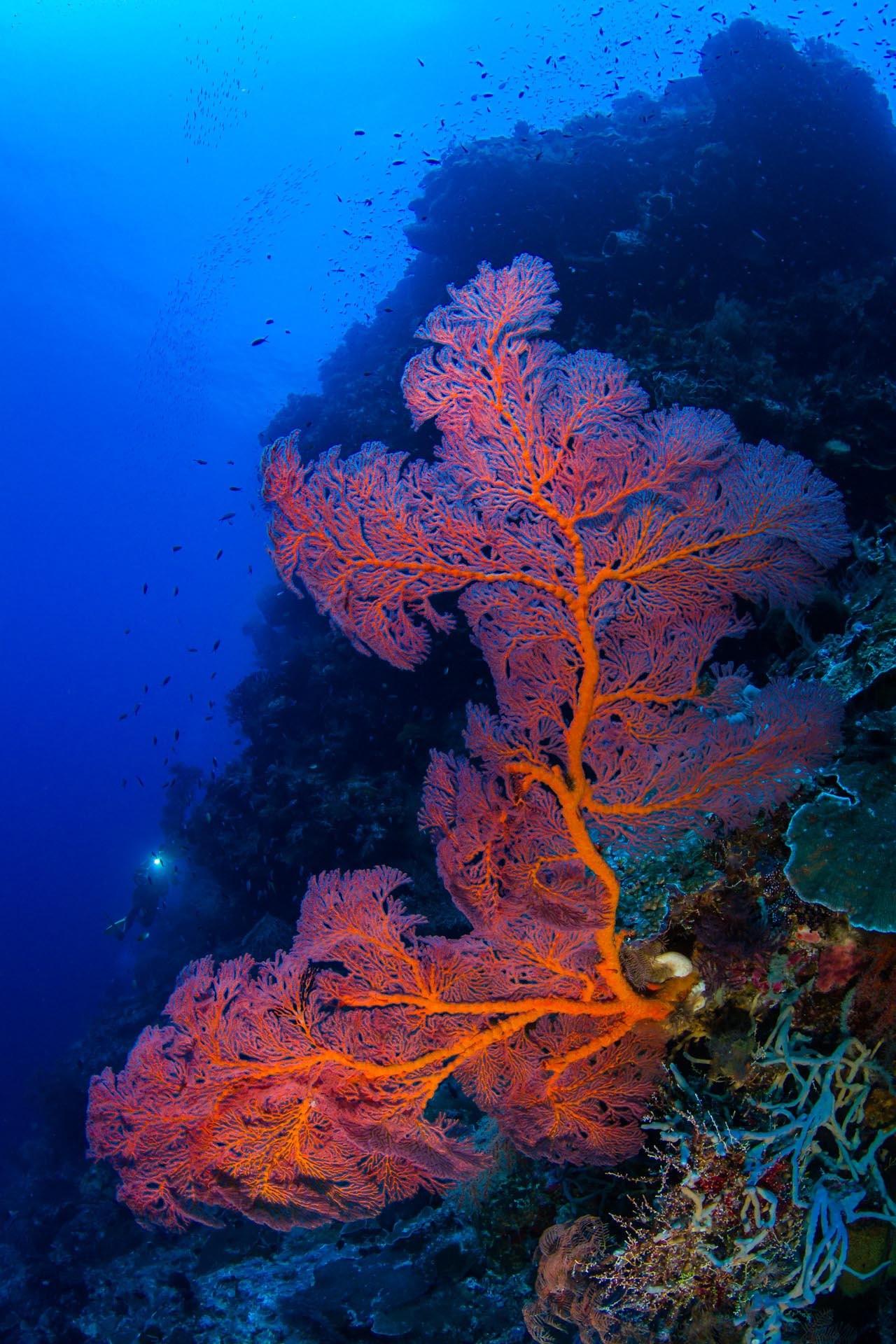 diver behind giant sea fan