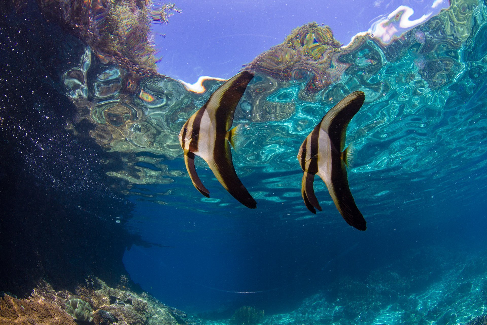 two juvenile batfish on the surface