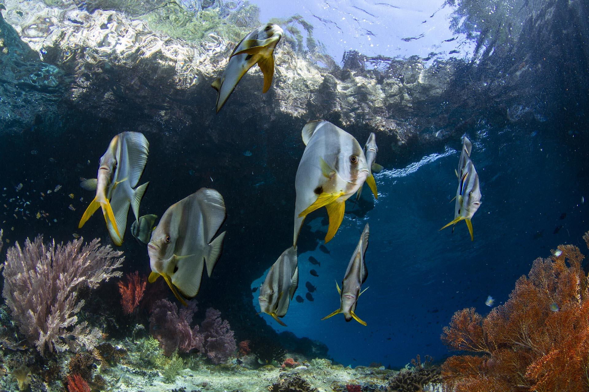 school of batfish in coral reef