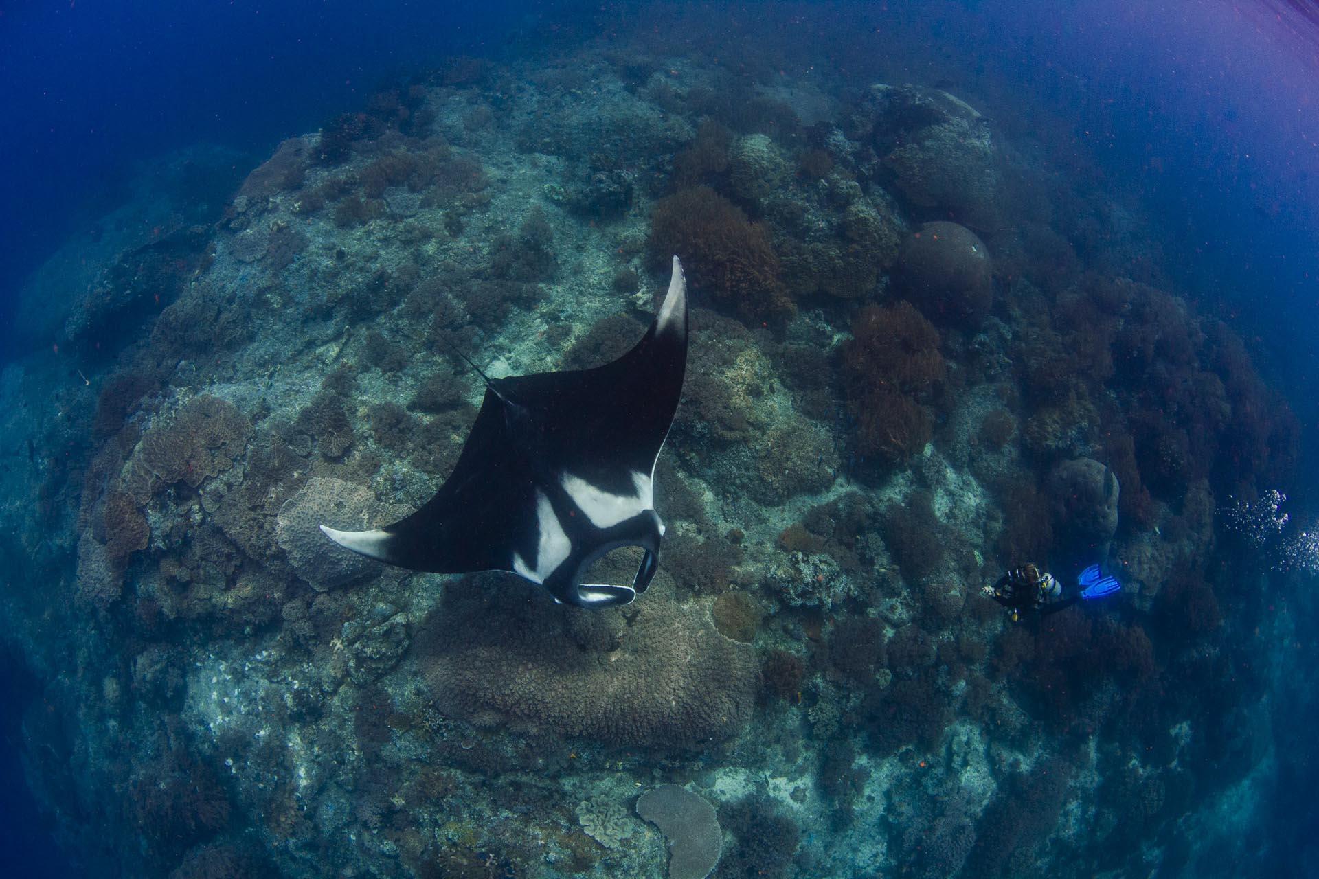 diver next to large manta ray