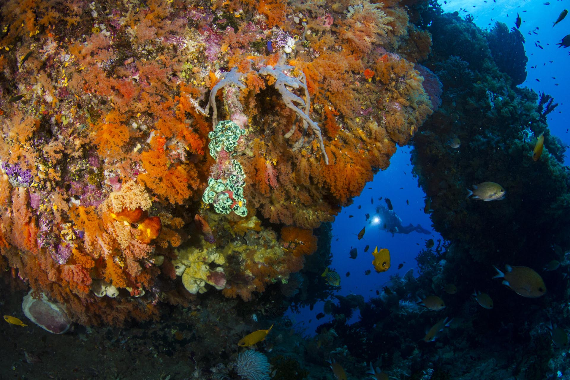 diver surrounded by orange soft coral