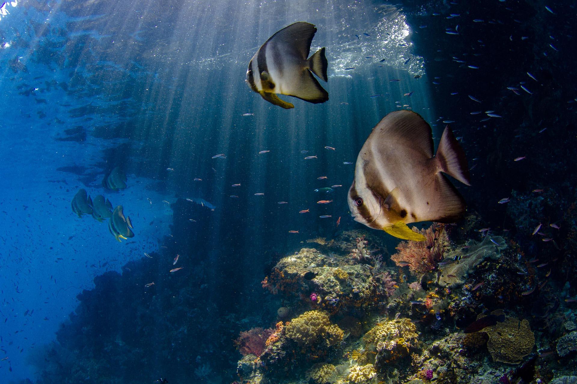 two batfish beneath island