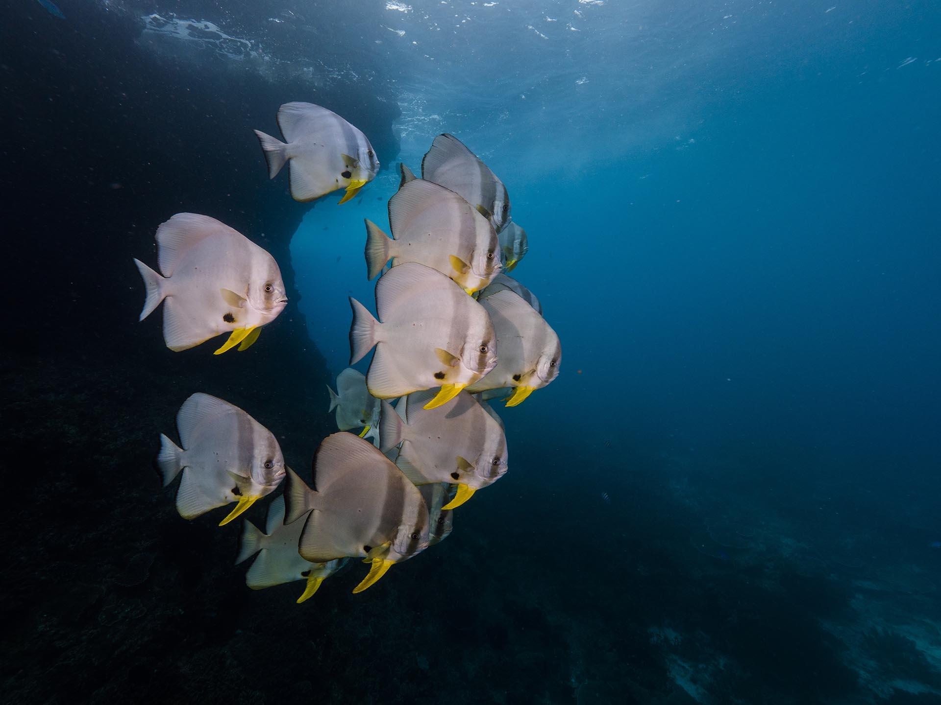 school of batfish