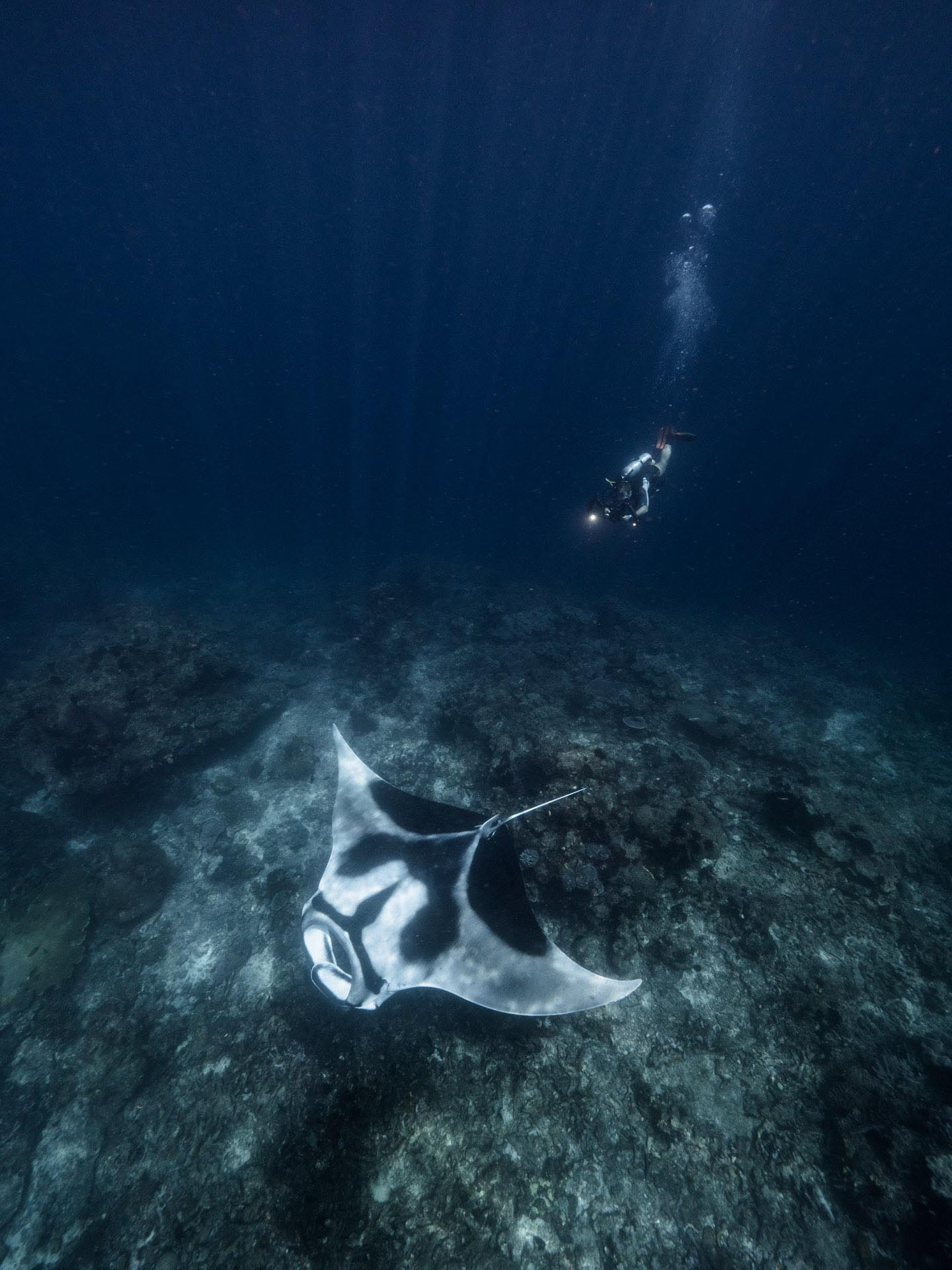 diver above oceanic manta ray