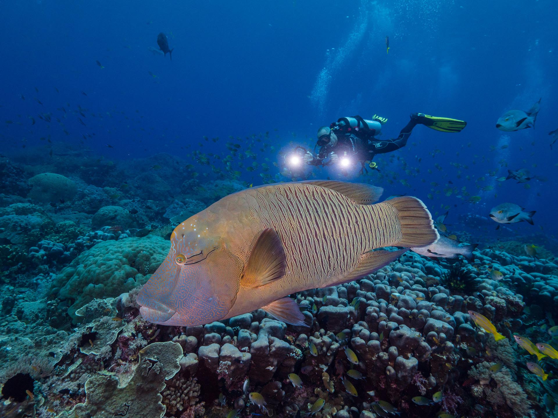 diver with napoleon wrasse