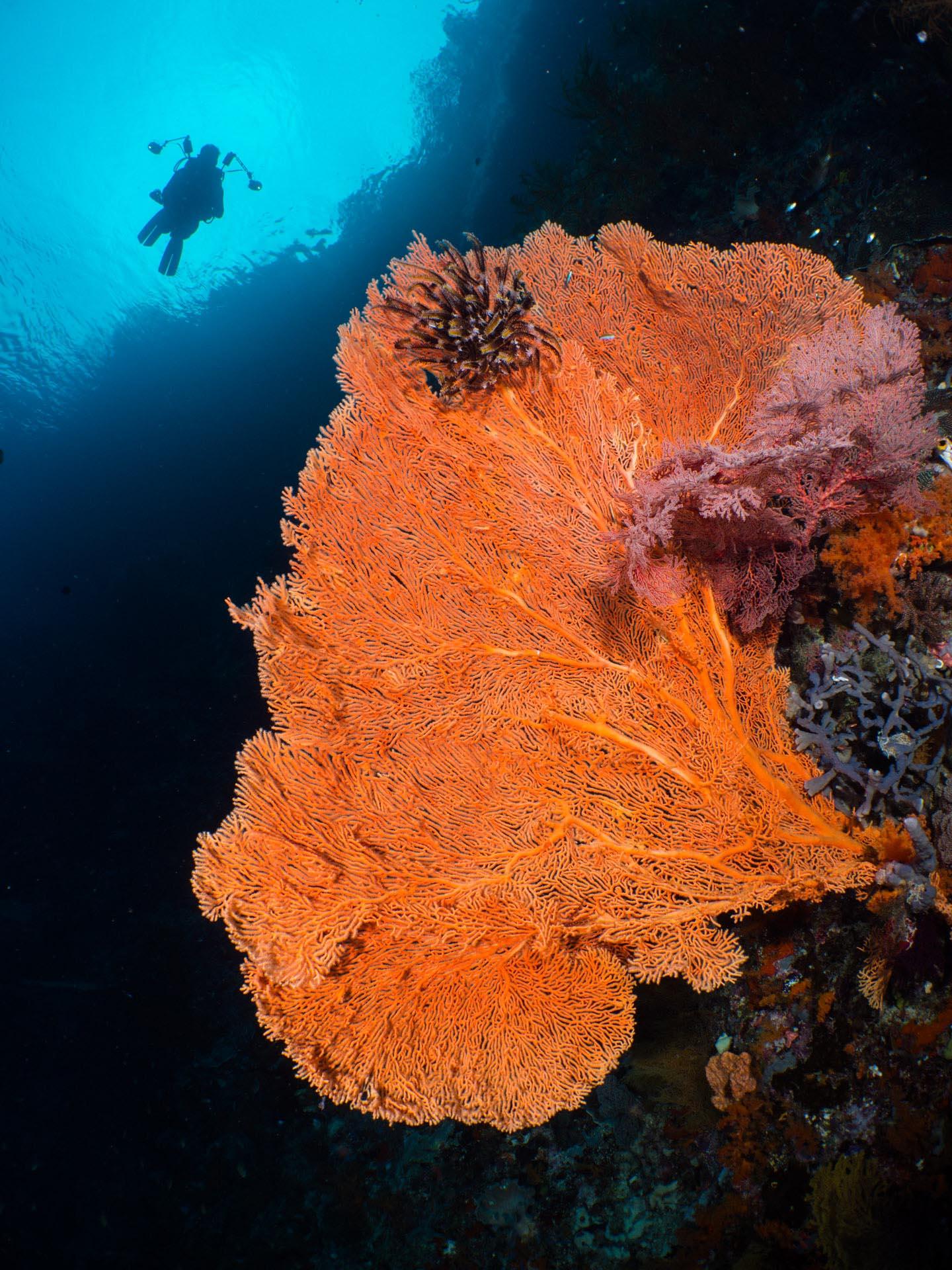 diver above large sea fan