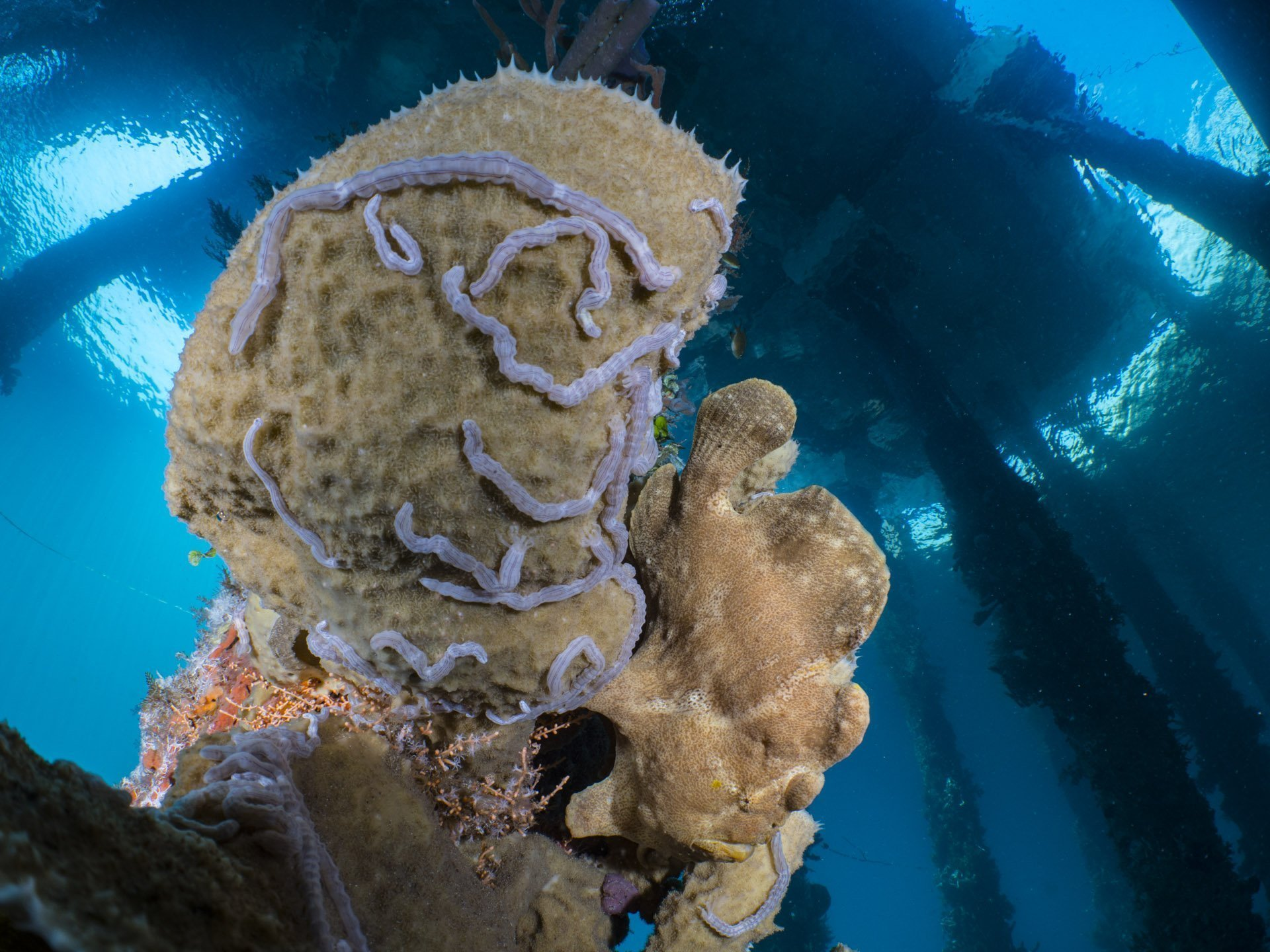 Giant frogfish on jetty in Alor