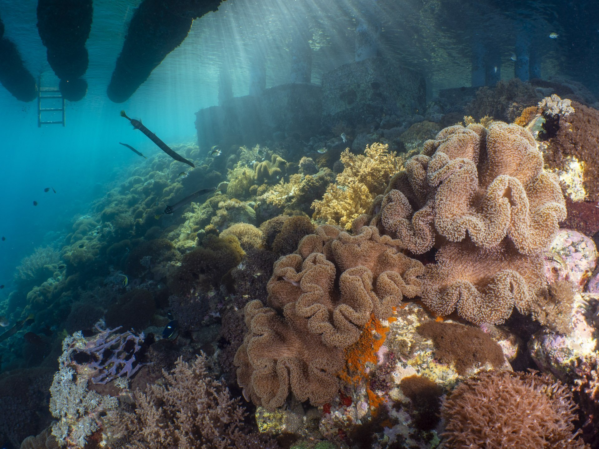 Coral reef below jetty in Alor