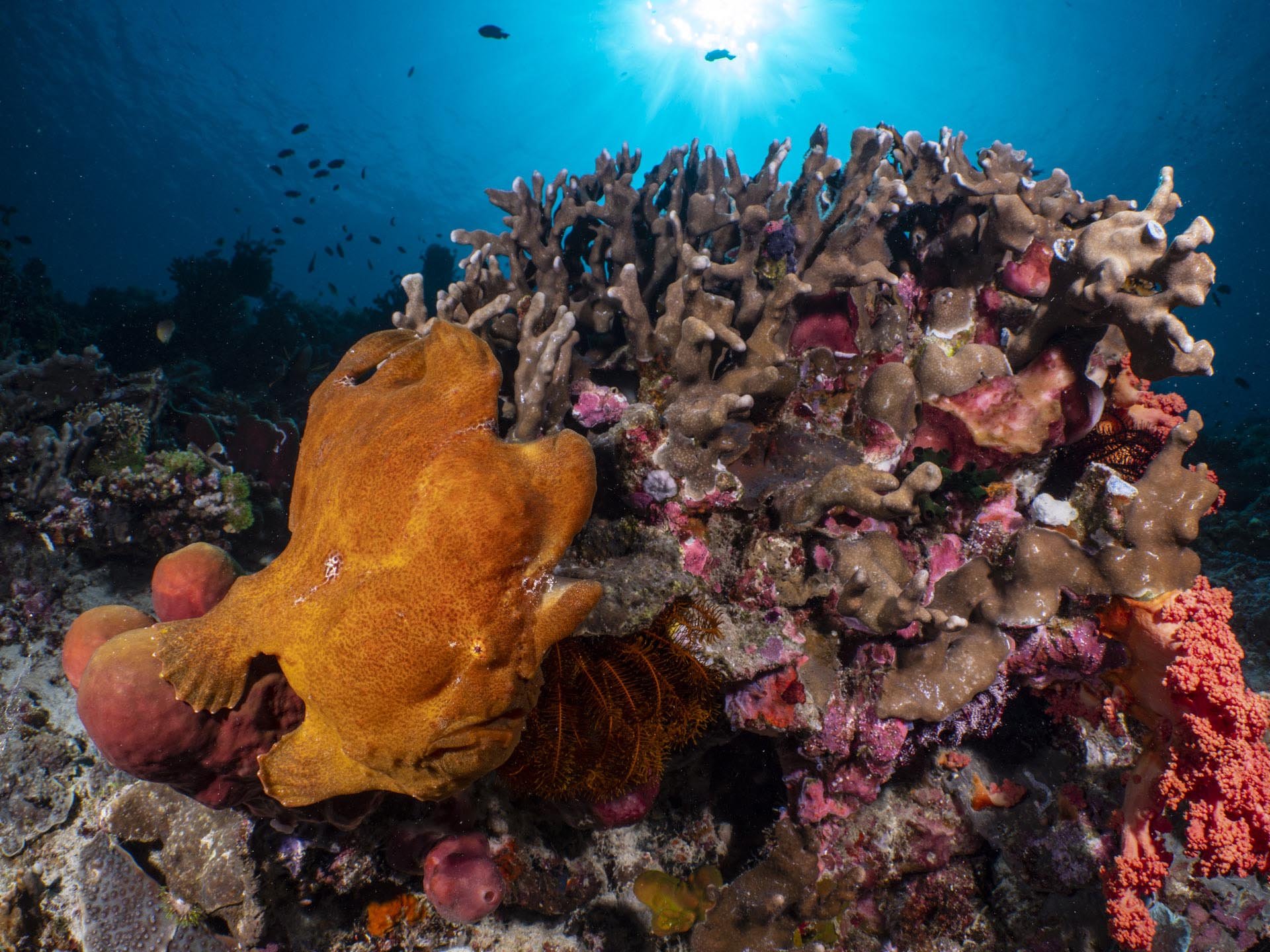 giant orange frogfish