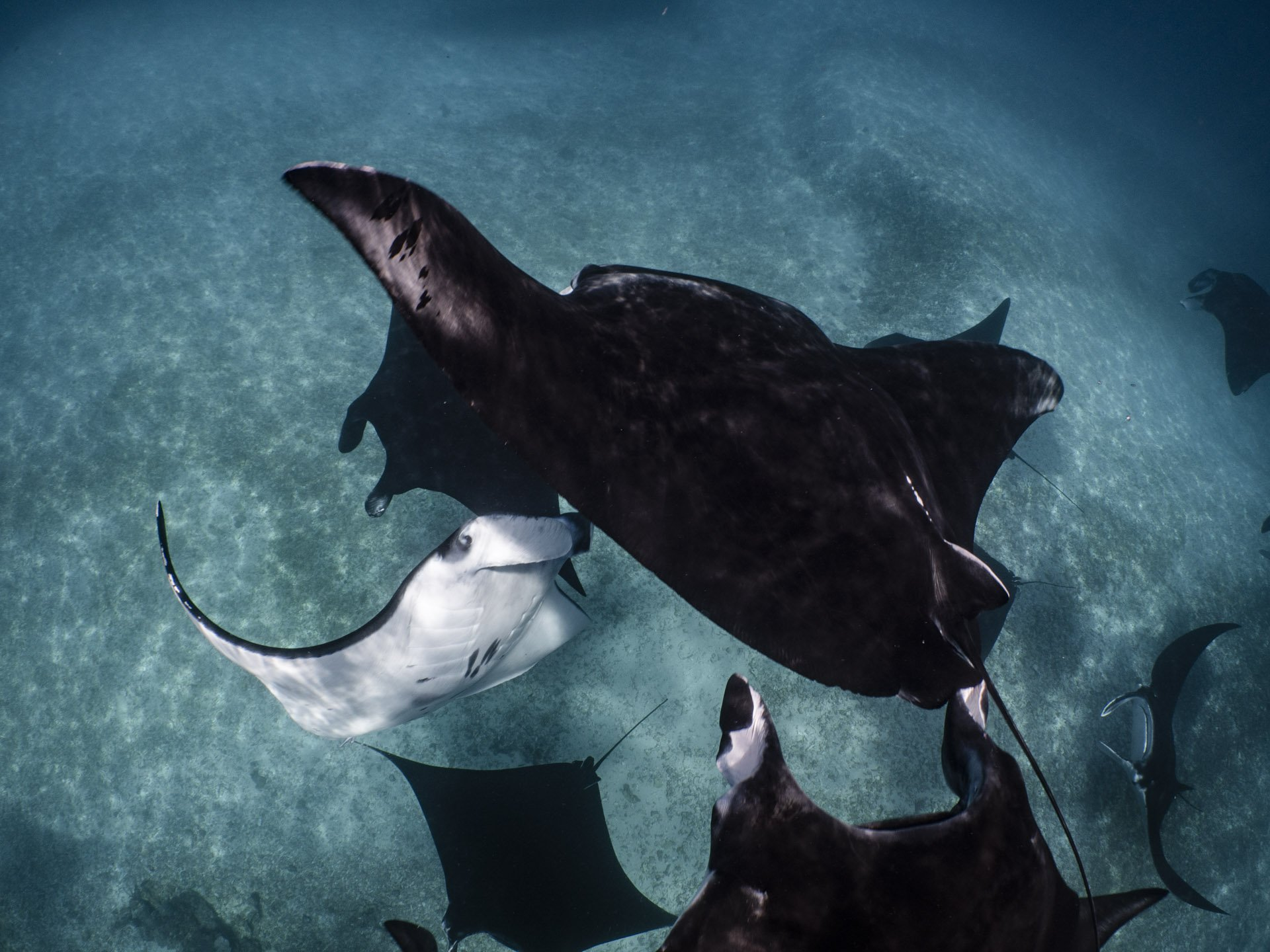 Manta rays congregating in Komodo National Park