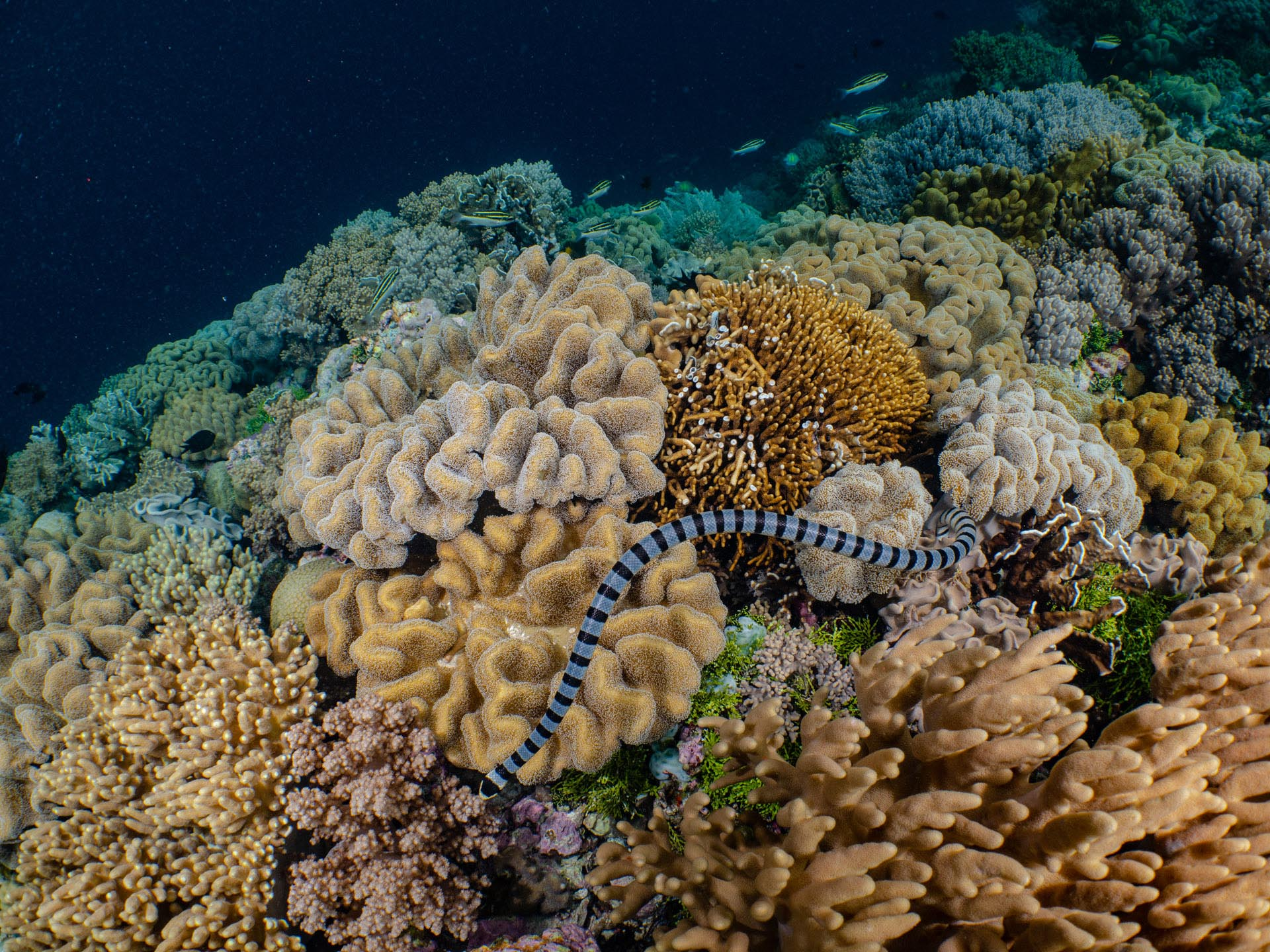 Banded sea snake on coral reef