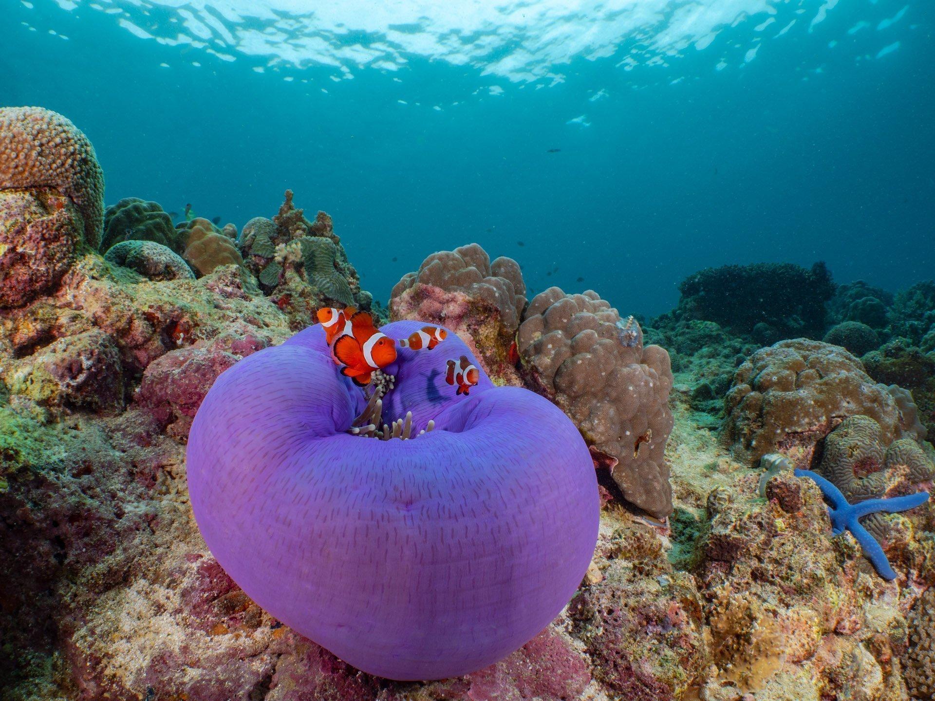 Anemone fish in purple anemone