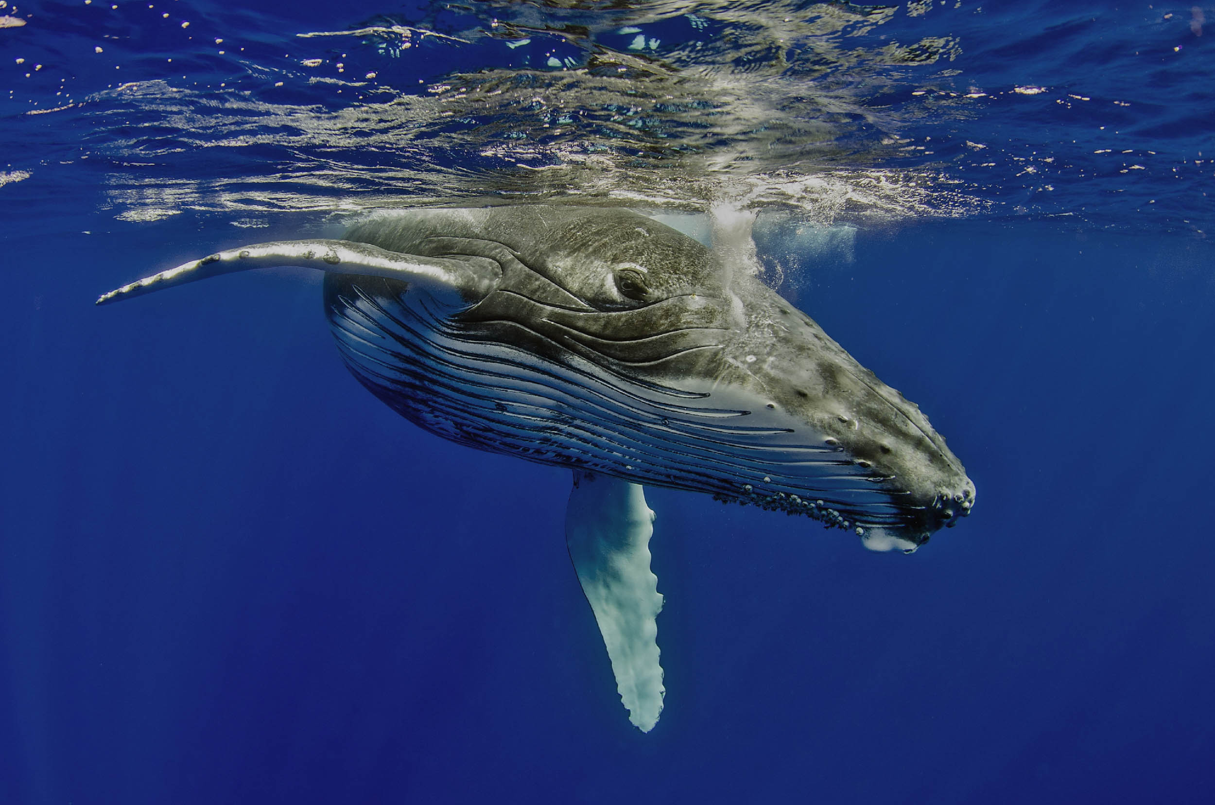 Humpback whale in clear blue water