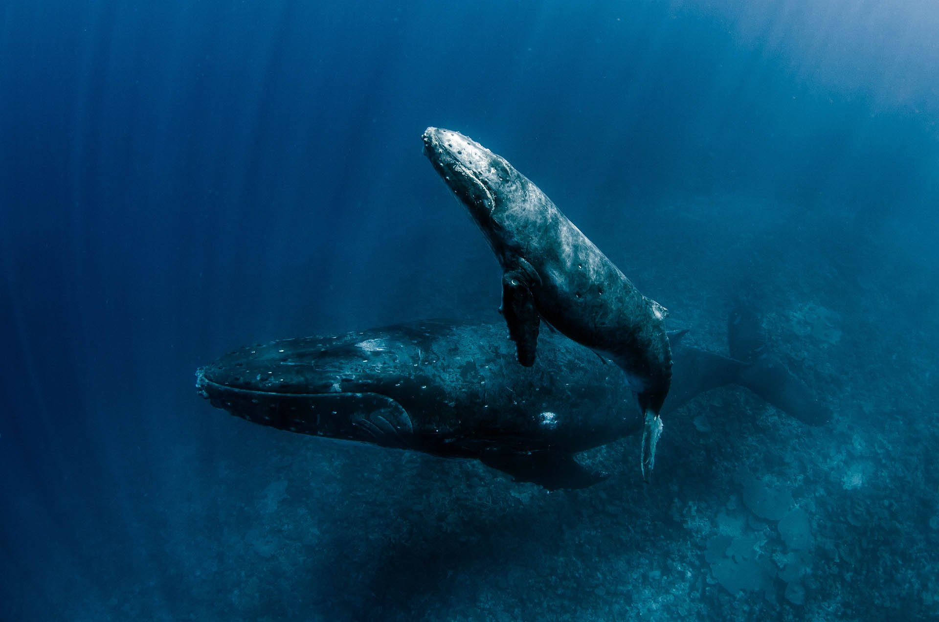 two humpback whales floating over reef
