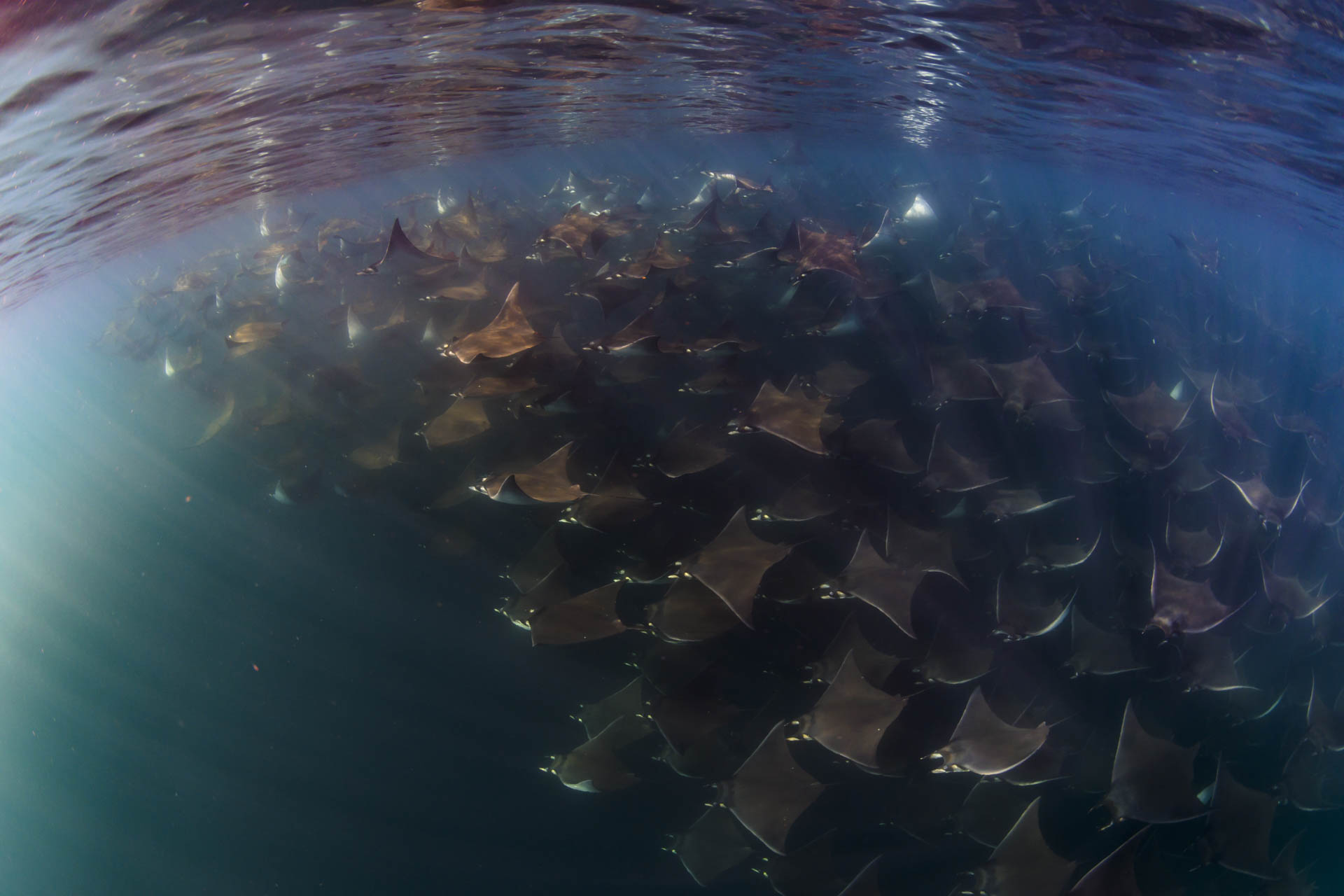 giant school of mobula rays underwater