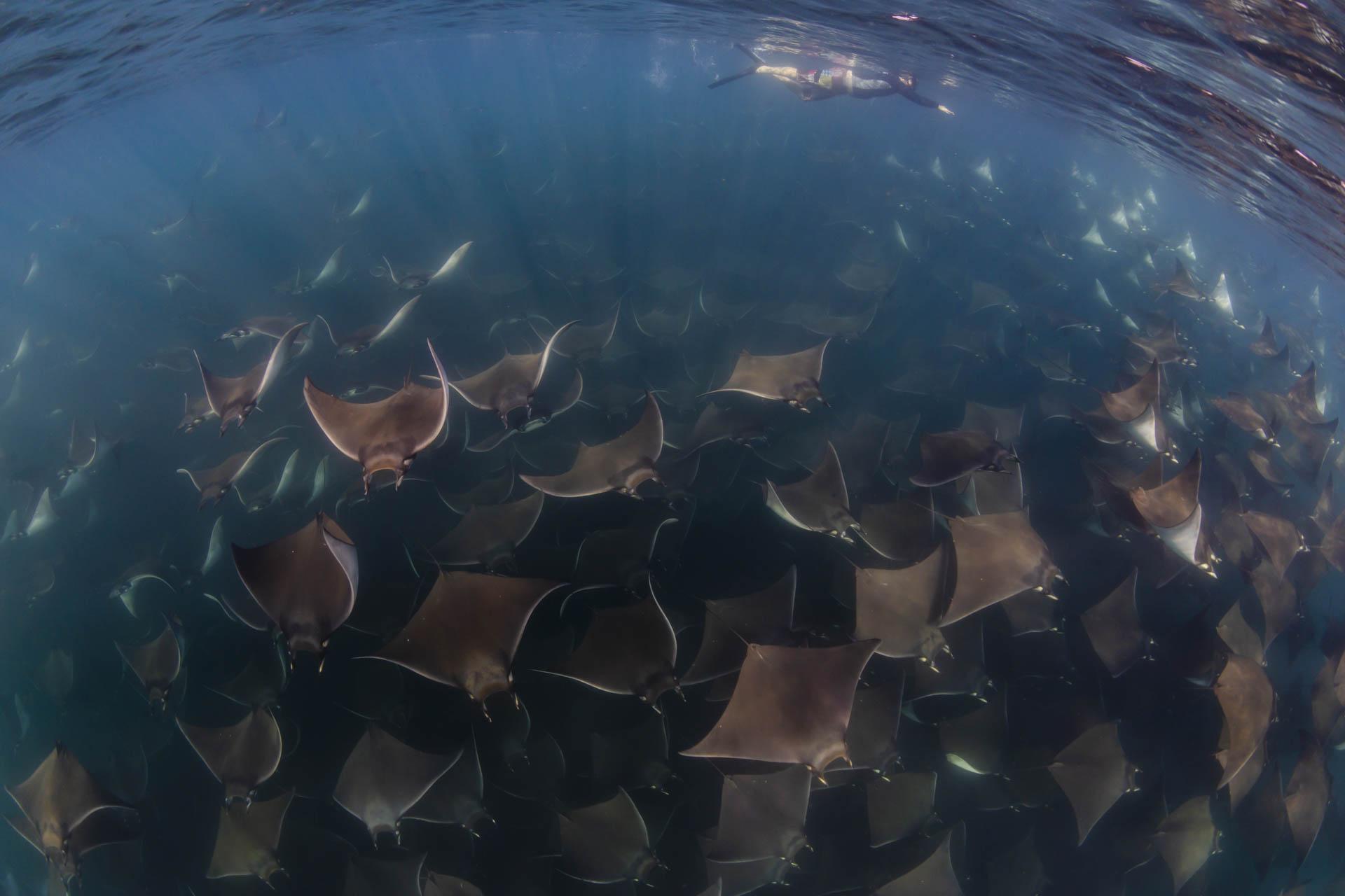 giant school of mobula rays underwater with snorkeler
