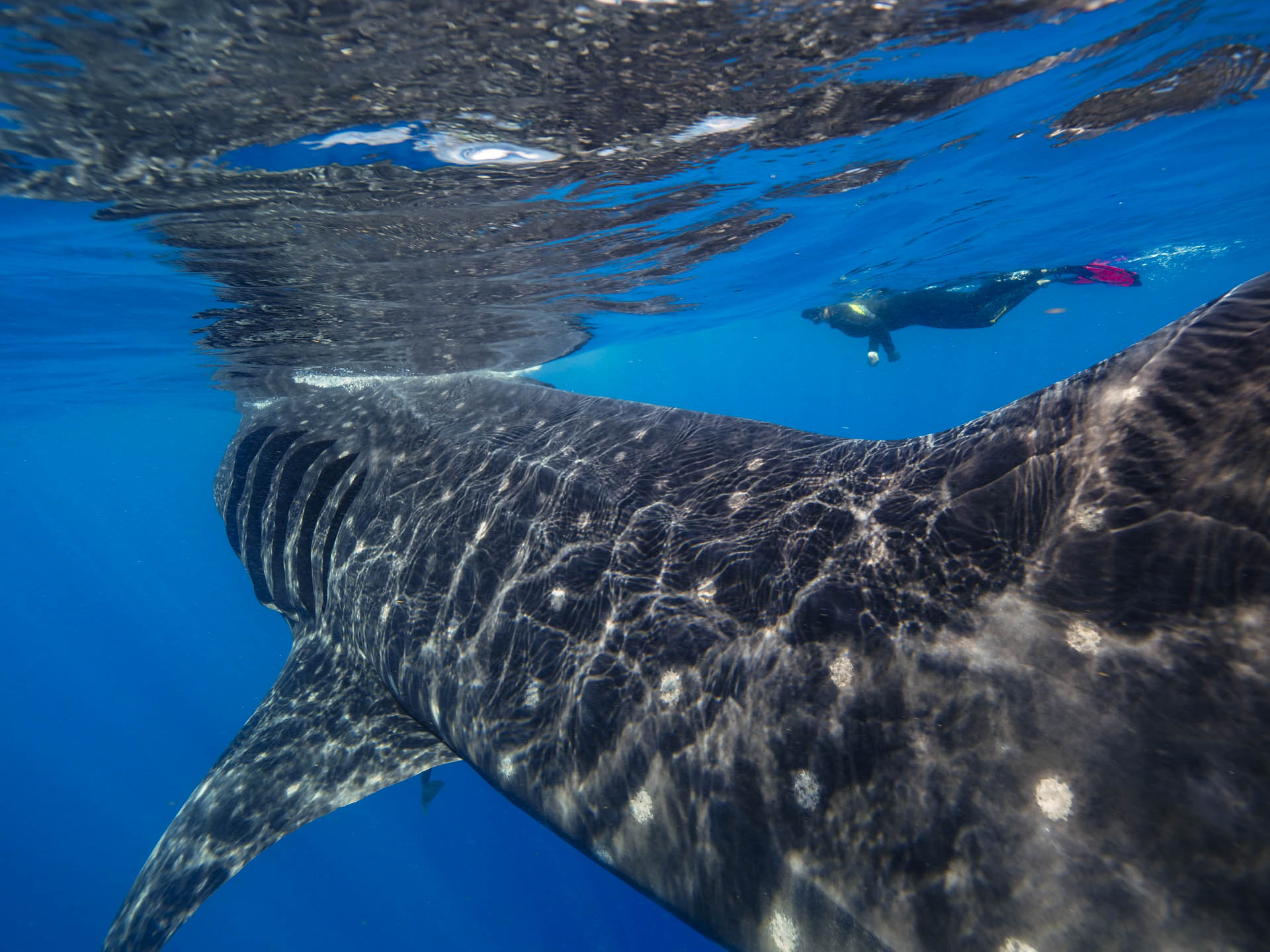 close up of whale shark and snorkeler