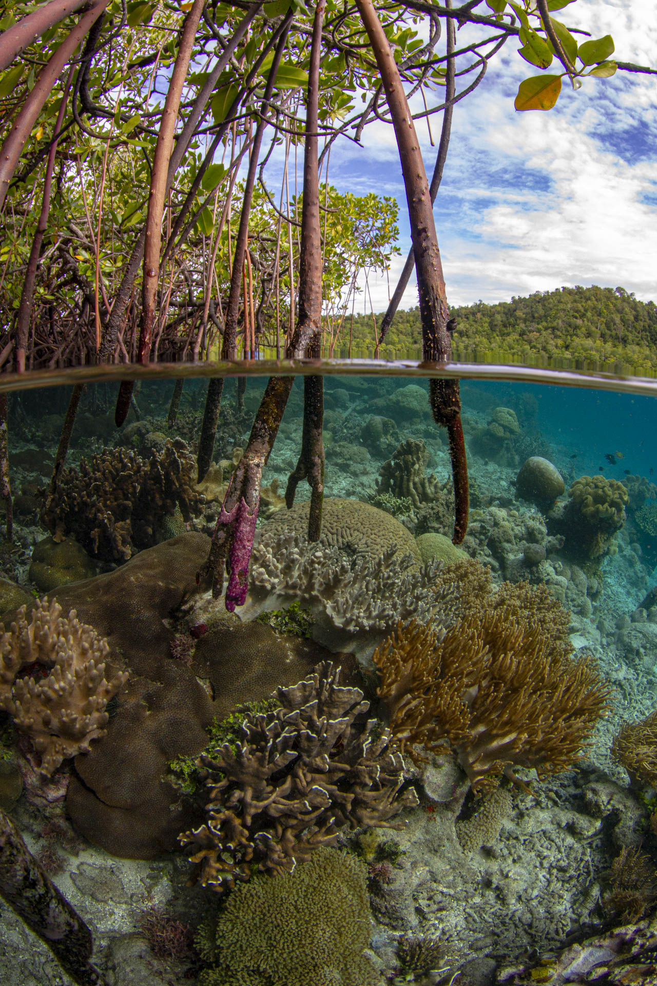 Mangrove scene with coral reef below