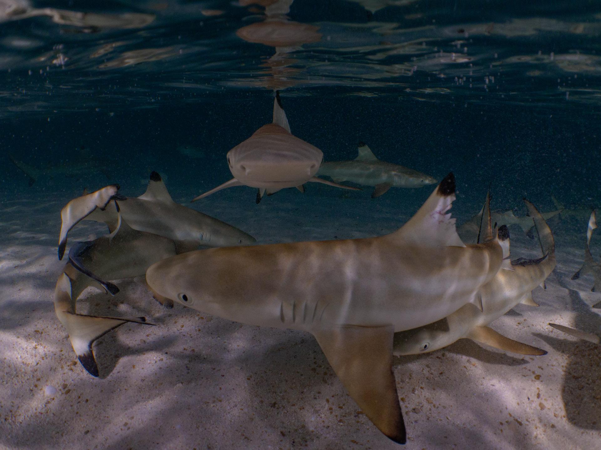 Many baby sharks