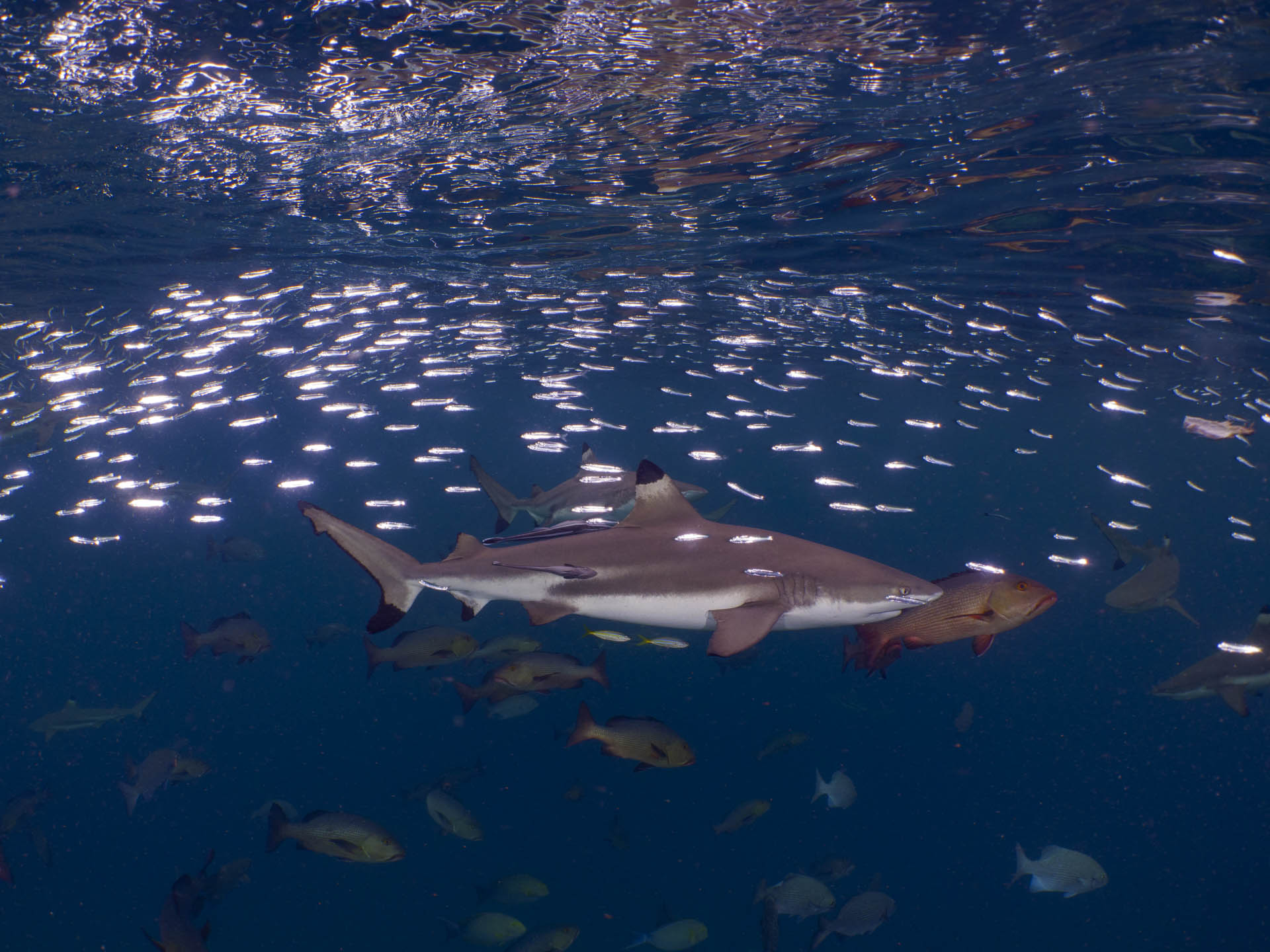 blacktip reef shark swimming through a school of fish